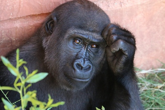 ape chimpanzee cute endangered species forest gorilla