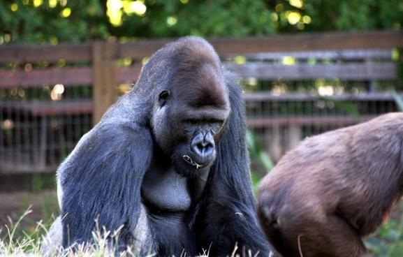 ape down gorilla