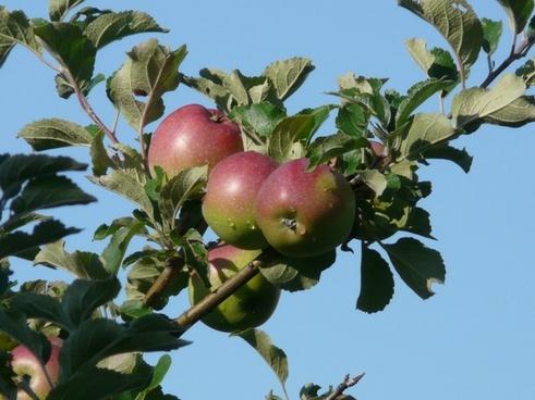apple apple tree red