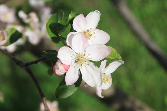 apple april blossom