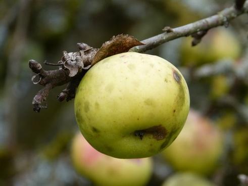 apple autumn apple tree
