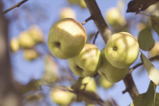 apple autumn blur branch daytime fall farm focus