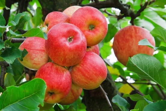 apple autumn branch