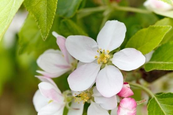 apple bloom blooming