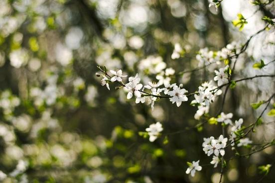 apple bloom blossom branch cherry closeup dof flora