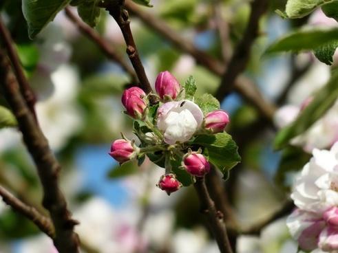 apple blossom apple tree flower