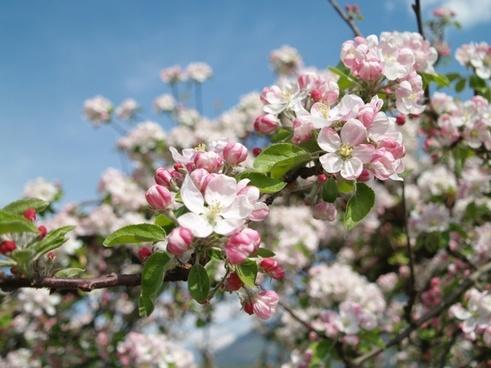 apple blossom vintschgau south tyrol