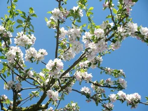 apple flower fruit