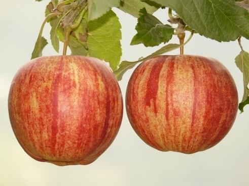 apple fruit eat