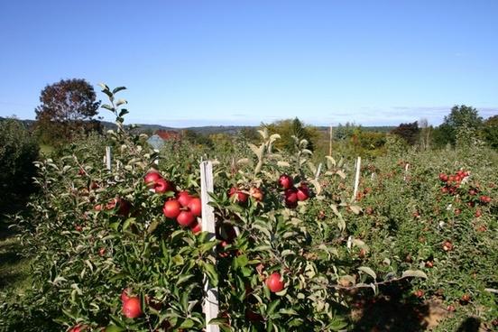 apple orchard apple blossom apple tree