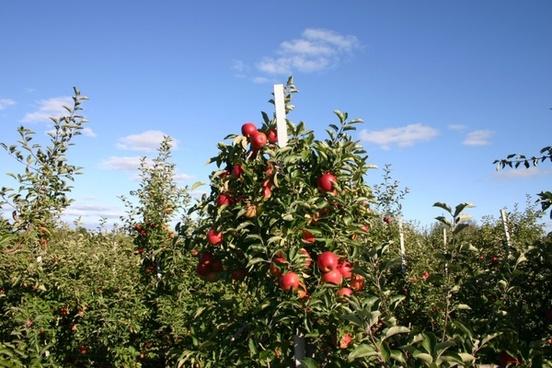 apple orchard apple tree