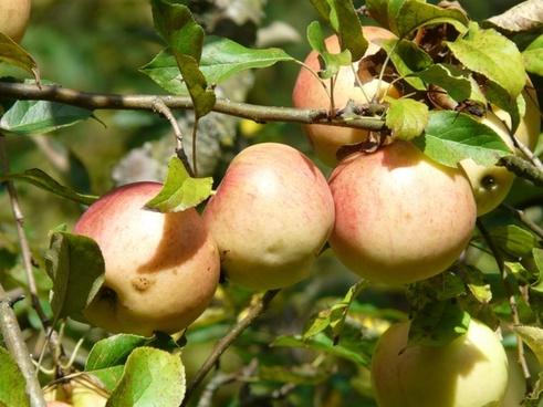 apple tree apples fruit