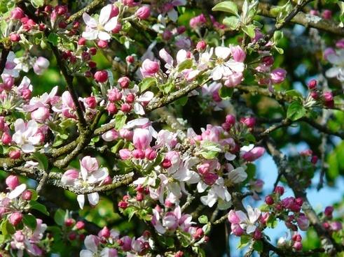 apple tree blossom apple blossom flower