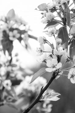 apple tree flower apple tree blossom