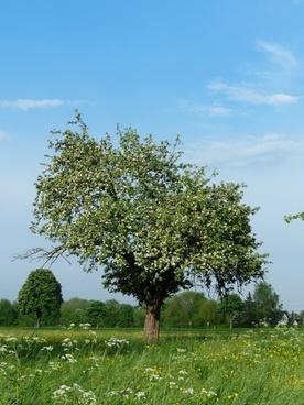 apple tree tree apple blossom