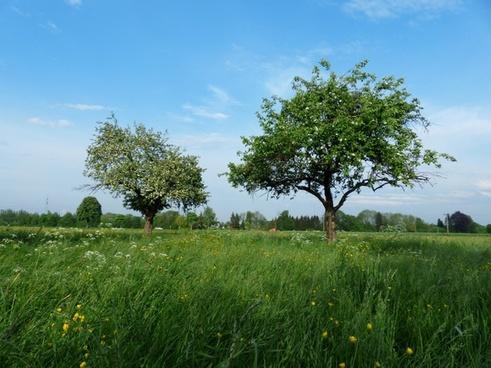 apple trees trees apple blossom