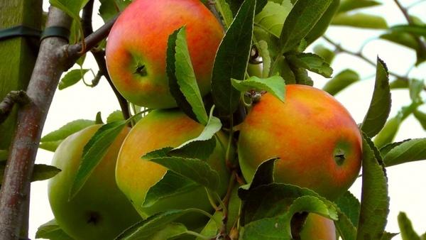 apple ungeerntet autumn