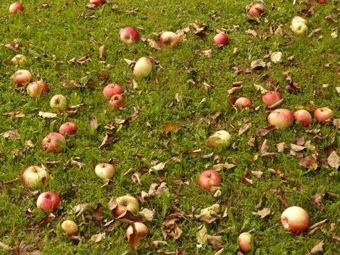 apples meadow harvest