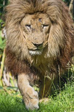 approching lion