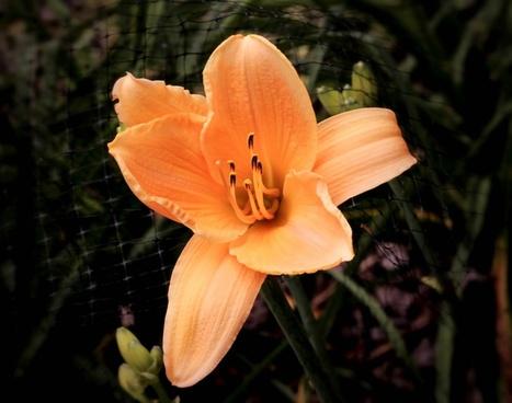 apricot daylily flower blossom