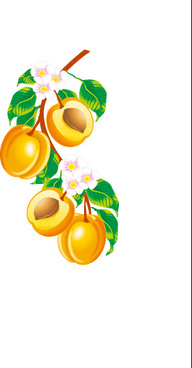 apricot flower and apricot vector