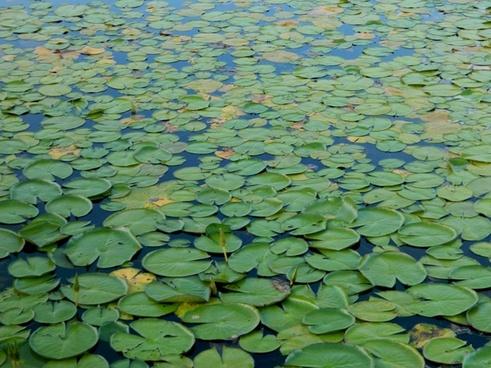 aquatica plant pond amazonia