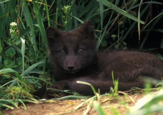 arctic fox animal mammal