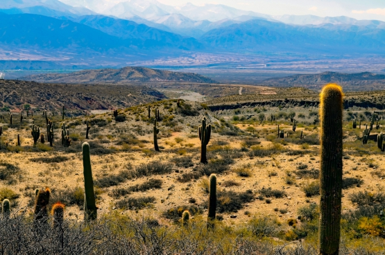 wild cactus on large desert