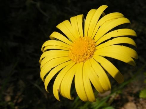 arvensis calendula flowers
