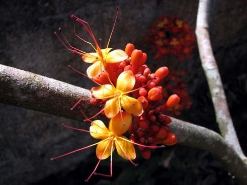 ashoka flower locust bean plant