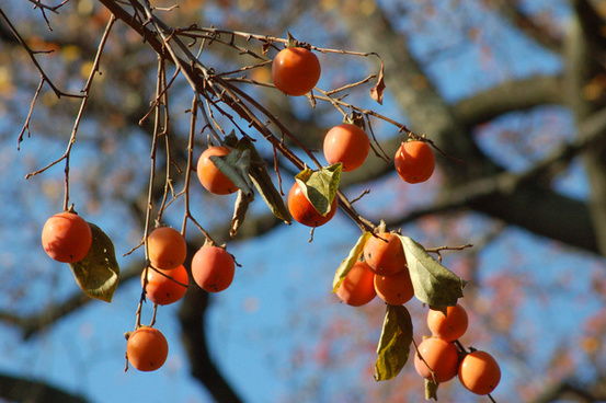 asian persimmons