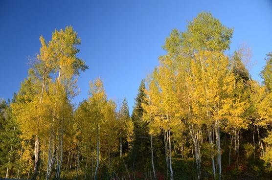 aspen aspen trees color change