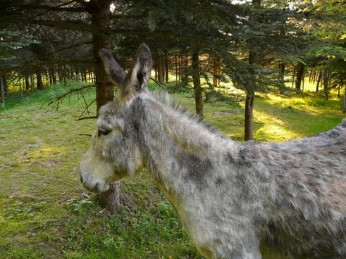 ass domestic donkey curious