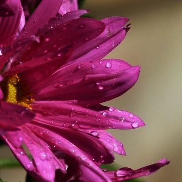 aster rain drops close up