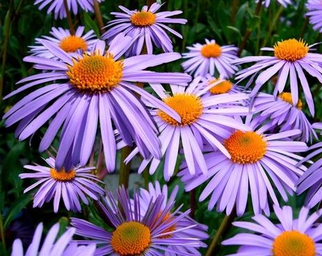 aster tongolensis michelmas daisy mauve