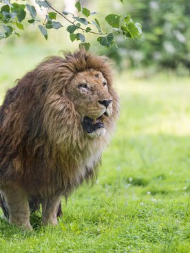 attentive old lion