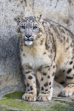 attentive snow leopard