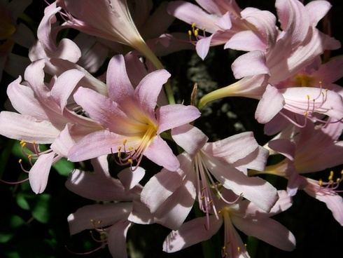 august lilies