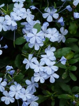 auriculata flowers flower