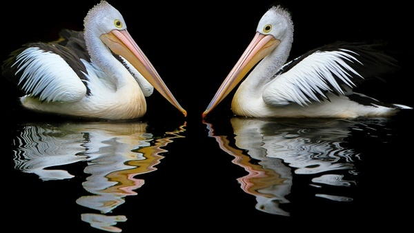 australia pelican sea birds