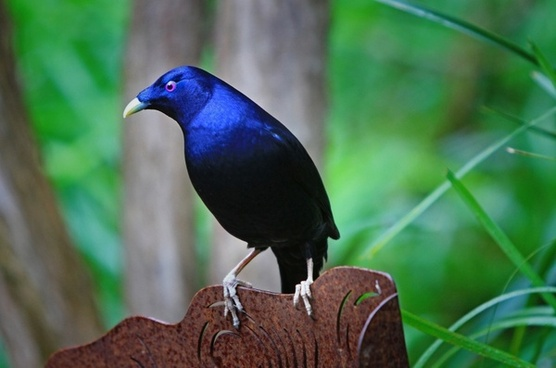 australia satin bower bird bird