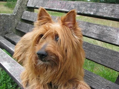australian terrier dog terrier