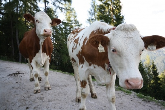 austria cows cattle