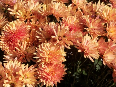 autumn aster floral