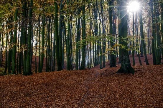 autumn beech conifer environment evergreen fall fog