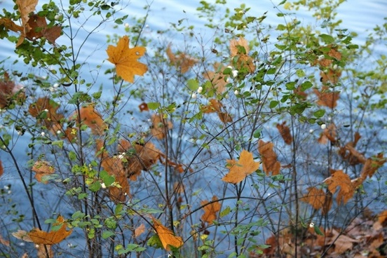 autumn bush leaves