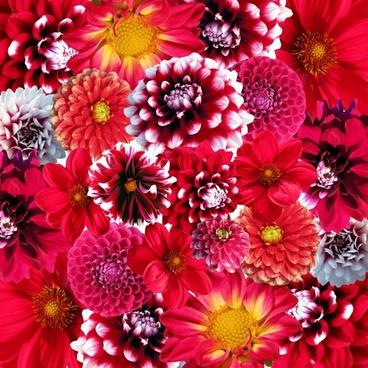 autumn dahlias flowers