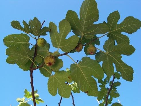 autumn fig fig tree