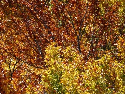 autumn forest beech wood golden autumn