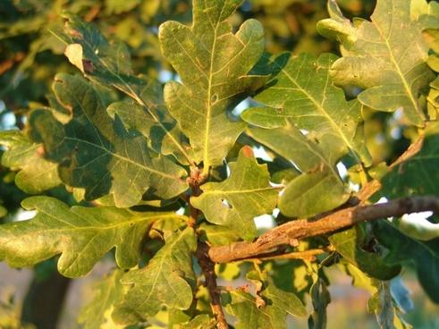 autumn forest oak